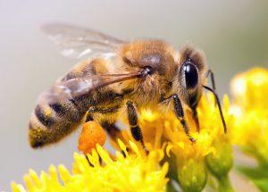 טיפול באמצעות דבורים לפוריות - Bee Therapy